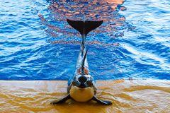 Killer Whale show at the aquarium Stock Images