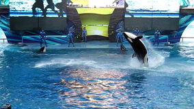 Killer whale Show Orlando stock footage