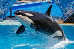 Killer whale show at Sea World royalty free stock photography