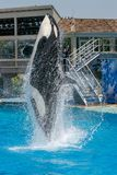 Killer whale show at Sea World stock image