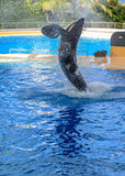 Killer Whale Splashing Stock Images