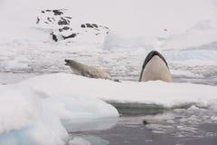 Killer whale spy hanting Stock Photos