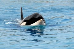 Killer whale swimming Royalty Free Stock Photo