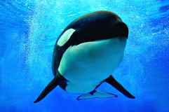 Killer whale swimming. Underwater with bubbles surrounding him Stock Photo