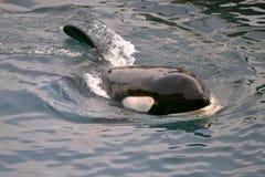 Killer whale swimming Stock Photos