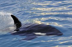 Killer whale swimming fast Royalty Free Stock Photography