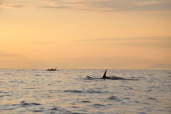 Killer whale swimming next to a boat at sunset tim Stock Photography