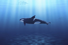Killer Whale. A killer whale swimming on the ocean Royalty Free Stock Photo