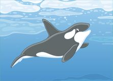 Killer whale swimming in a polar sea Royalty Free Stock Images