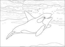 Killer whale swimming in a polar sea Stock Photos
