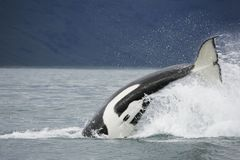 Free Killer Whale Tail Stock Photo - 17615480
