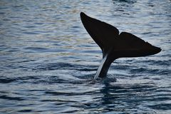 Killer whale tail Royalty Free Stock Image