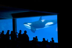 Killer Whale in tank Stock Photography