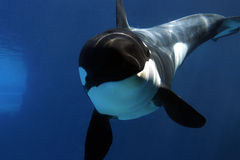 Killer Whale under water. stock photos