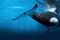 Killer whale underwater. Underwater image of an killer whale stock photos