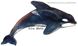 Killer Whale. underwater life watercolor illustration. sea animal. Killer Whale. underwater life. marine animal watercolor illustration. sea predator series Royalty Free Stock Photos