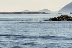Killer Whale in Vancouver Royalty Free Stock Photography