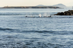 Killer Whale in Vancouver Royalty Free Stock Image