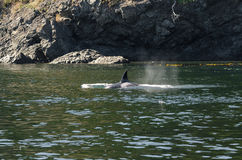 Killer Whale in Vancouver Royalty Free Stock Images