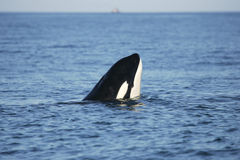 Killer whale watching Royalty Free Stock Image