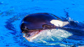 Killer Whale in water Royalty Free Stock Image