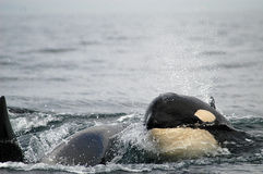 Killer Whales Royalty Free Stock Photo