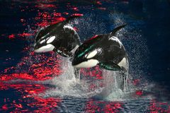 Killer Whales. 2 Killer Whales jumping in the air at night with bright red light stock photography