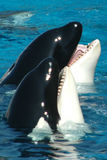 Killer whales Stock Image