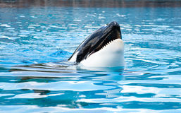 Killer Whales Royalty Free Stock Photos