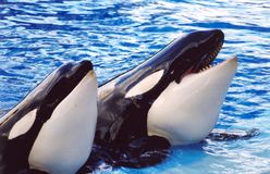 Killer Whales. Two killer whales waiting for a snack stock images