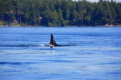 Killer whales Royalty Free Stock Image