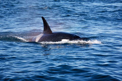 Killer whales Royalty Free Stock Photography