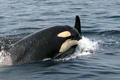Killer Whales. In British Columbia, Canada stock photo