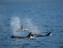 Killer whales. Stock Photos