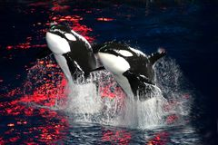 Killer Whales. 2 Killer Whales jumping in the air at night with bright red light stock images
