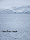 Killer Whales in Antarctic Waters Royalty Free Stock Photography