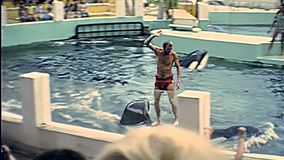 Killer whales archive. Miami, Florida, United States - Circa 1978: Miami Seaquarium archive 8mm of animal trainer riding a killer whale for show in the aquarium stock footage