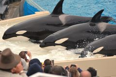 Killer Whales beach for crowd at Seaworld III Royalty Free Stock Images