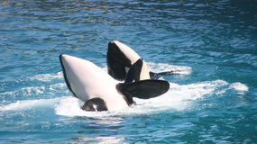Killer whales couple Royalty Free Stock Photos