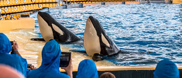 Killer Whales Greeting stock photography