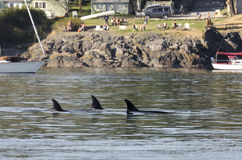 Killer whales herd in Canada Stock Photography