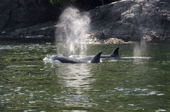 Killer whales herd in Canada Royalty Free Stock Photography