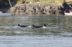 Killer whales herd in Canada Royalty Free Stock Photo