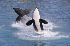 Killer whales jumping out of water Stock Photography