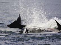 killer whales are jumping on the surface royalty free stock photos