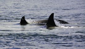killer whales are jumping on the surface royalty free stock image