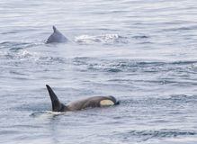 Killer Whales Off the Coast of Antarctica stock photo