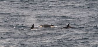 Group of adult Killer Whales surfacing, one with severed dorsal fin, Beagle Channel, Chile stock images