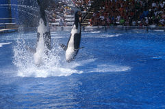 Killer Whales Perform at Seaworld Royalty Free Stock Photo