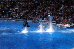 Killer Whales Perform at Seaworld Royalty Free Stock Photography